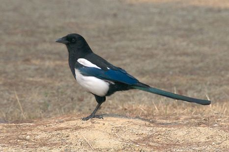 العقعق الكورية-Korean_magpie_in_Daejeon_(side_profile)