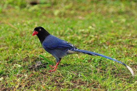 تايوان العقعق الأزرق-Urocissa_caerulea