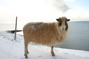 جزر فارو-Sheep_(Faroe_Islands)
