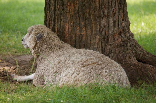 ديشلي انكلترا-Leicester_sheep,_Virginia