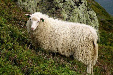 سبالسو-Norway_sheep_portrait