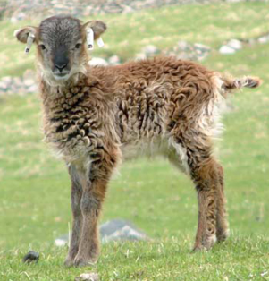 سوي-Soay_sheep_lamb