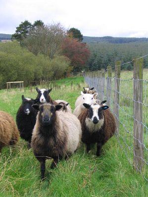 شتلاند-Flock_of_shetland_sheep