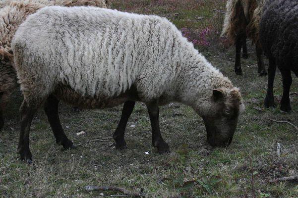 شتلاند-Shetland_ewe