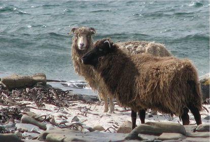 شمالNorth_ron_sheepإسكتلندا[