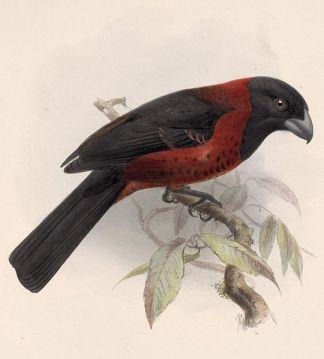 قرمزي-باعتقاله -Rhodothraupis_celaeno_1902