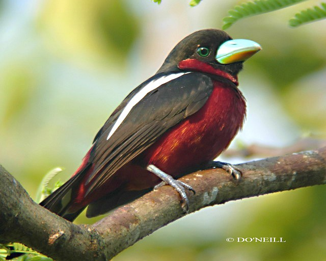 dscn4459_broadbill_black_red