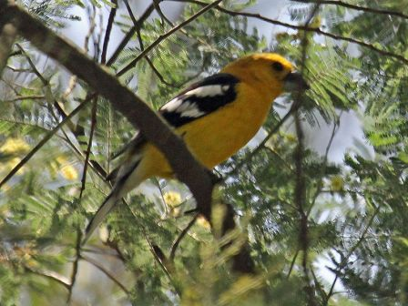 Golden-bellied_Grosbeak_RWDجنوب صفراء منقار غليظ