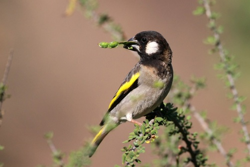 golden-winged20grosbeakسقطرة