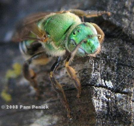 Green bee 2_Agapostem