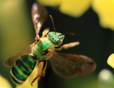 green bee flying 2