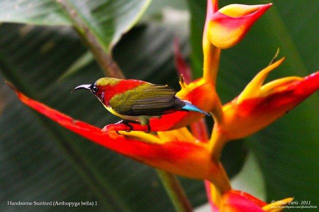 Handsome Sunbird (Aethopyga bella) 1