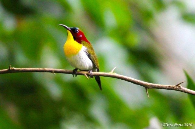 Handsome Sunbird (Aethopyga bella), Los Banos, Laguna 3