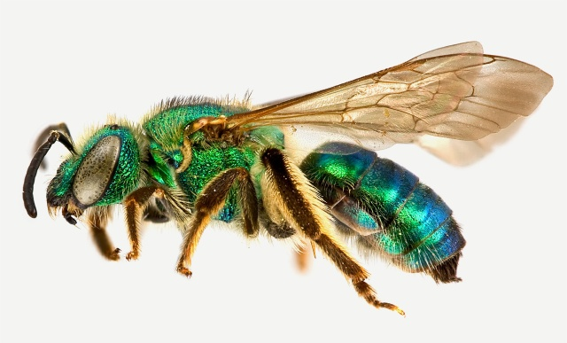 النحل الاخضر home-agapostemon_sericeus_female.jpg?w=640