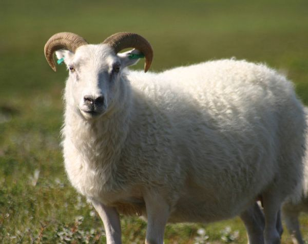 Icelandic_sheep_summer_الآيسلندية