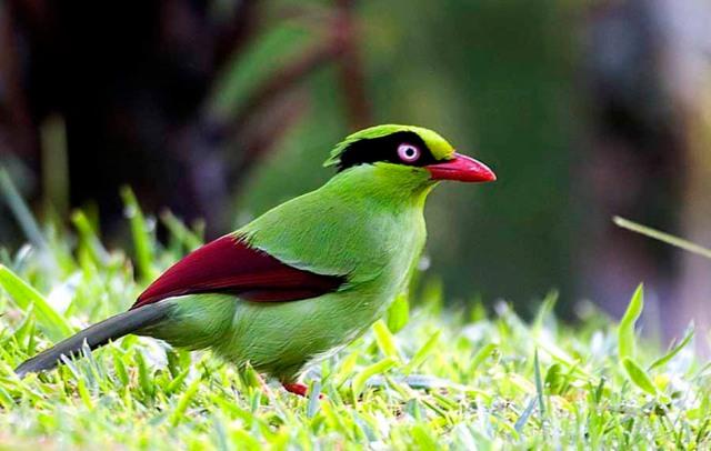 javan-green-magpieجوان الخضراء العقعق