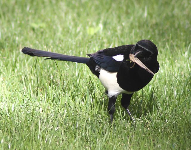 Magpie_in_Madrid_(Spain)_اوراسي