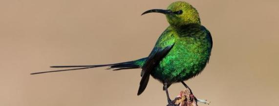 malachite-sunbird-2-high-res-hc