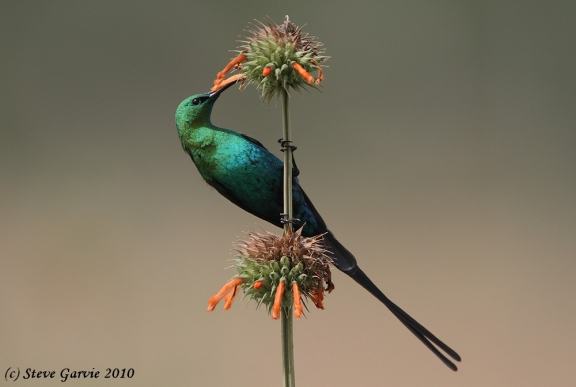 Malachite Sunbird male