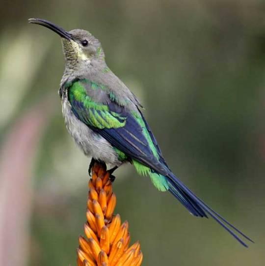 malachite-sunbird_3813