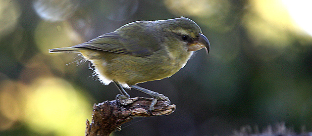 Maui-Parrotbill_Michael-Walther