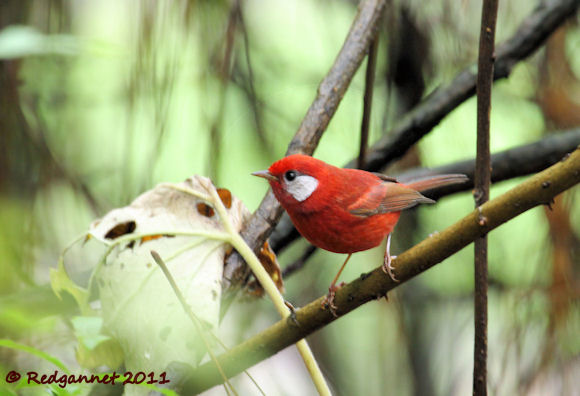 MEX-29Aug11-Red-Warbler-01