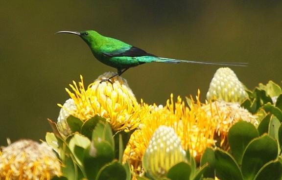 _MG_4060_Malachite_Sunbird_Hottentots_Holland_Nature_Reserve.