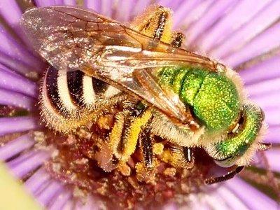النحل الاخضر mn08-green-bee-239_0