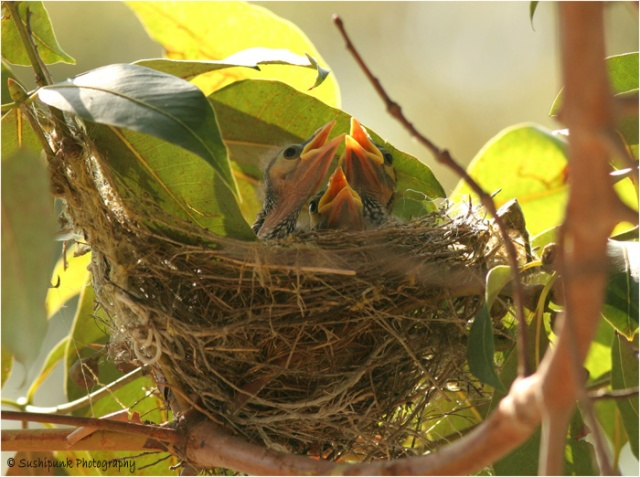 Noisy-Miner-Nest