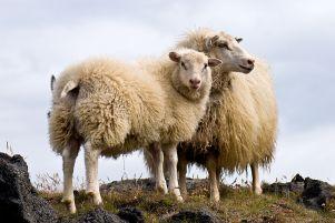 -Pair_of_Icelandic_Sheepالآيسلندية