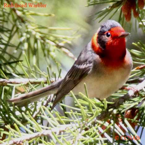 red-faced-warbler-4
