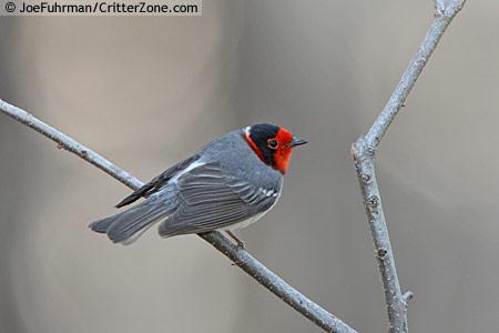 red-faced-warbler-Cardellina-rubrifrons-JFBR062110-129