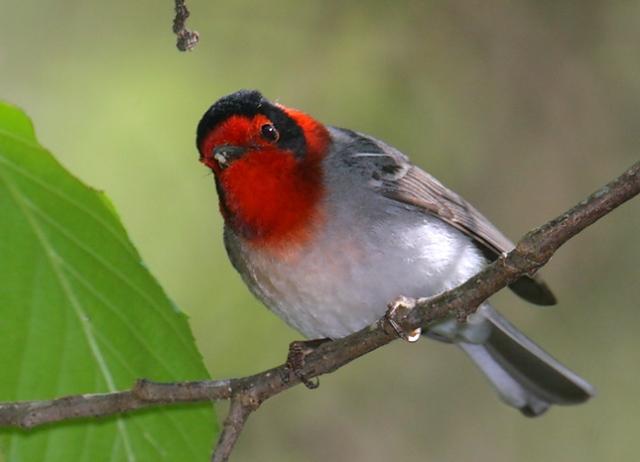 Red-faced-Warbler