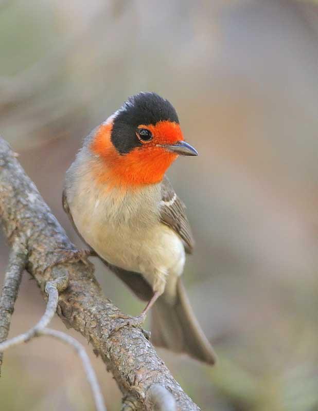 red-faced-warbler22