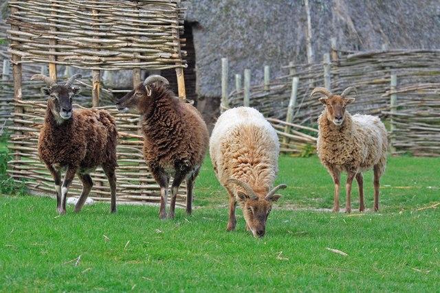 Soay_sheep_at_Cranborne_Ancient_Technology_سوي