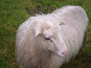 Spælsau (sheep)سبالسو