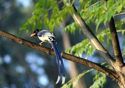 Yellow_Billed_Blue_Magpie-Dogra