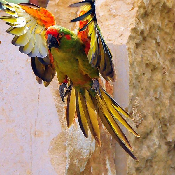 600px-Ara_rubrogenys_-Zoo_de_Doué-la-fontaine-8a-2c