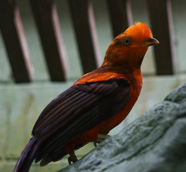 647px-Rupicola_peruvianus_-Cincinnati_Zoo,_Ohio,_USA_-male-8a