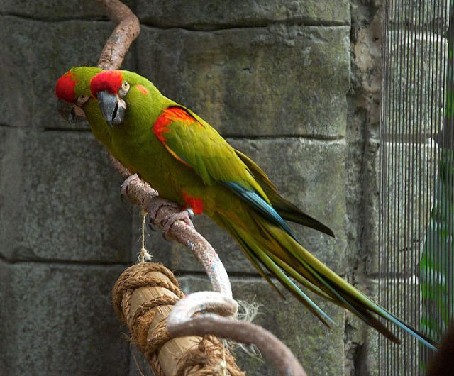 722px-Ara_rubrogenys_-Tulsa_Zoo,_Oklahoma,_USA-8a-3c