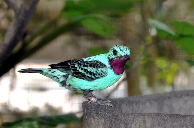 800px-Cotinga_cayana_-Jurong_Bird_Park-8a
