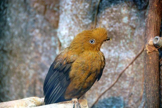 800px-Rupicola_peruvianus_(female)_-Ueno_Zoo-8a