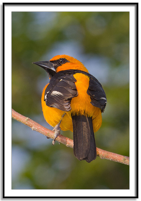 All sizes _ Icterus gularis - Altamira Oriole _ Flickr - Photo Sharing!_files