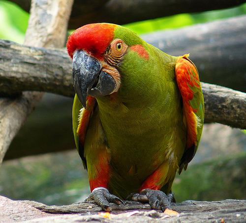 Ara_rubrogenys_-Jurong_BirdPark-8