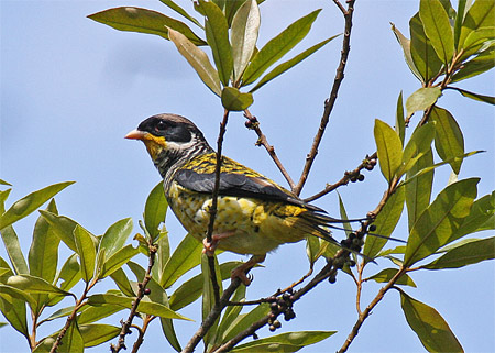 Brazil,Nov08,SwallowTailedC