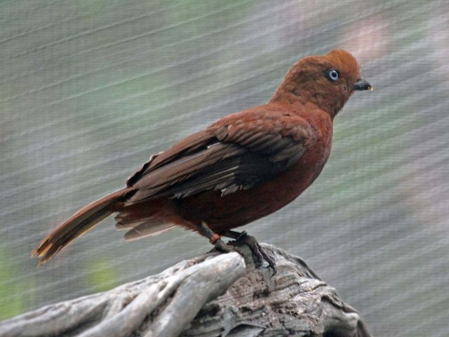 Cock-of-the-Rock,_Andean_female