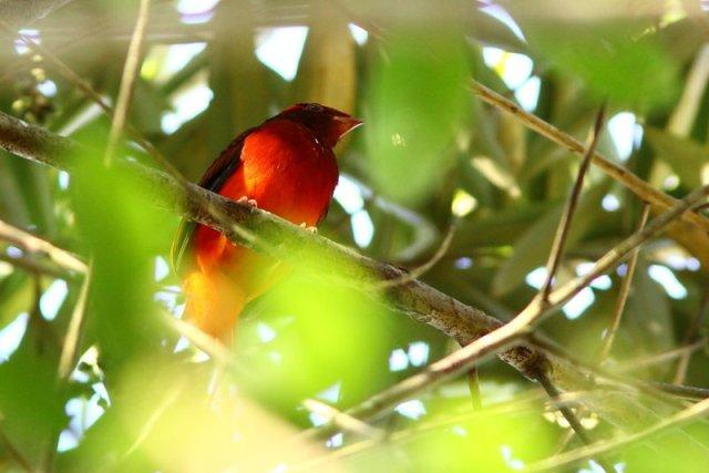 Cotinga ouette Phoenicircus carnifex Guianan Red Cotinga