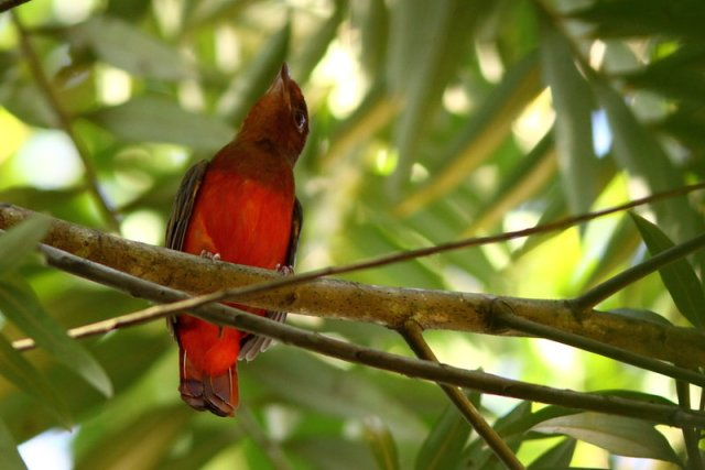Cotinga ouette Phoenicircus carnifex Guianan Red Cotinga