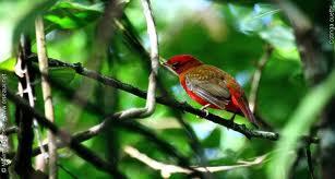 Guianan Red Cotinga