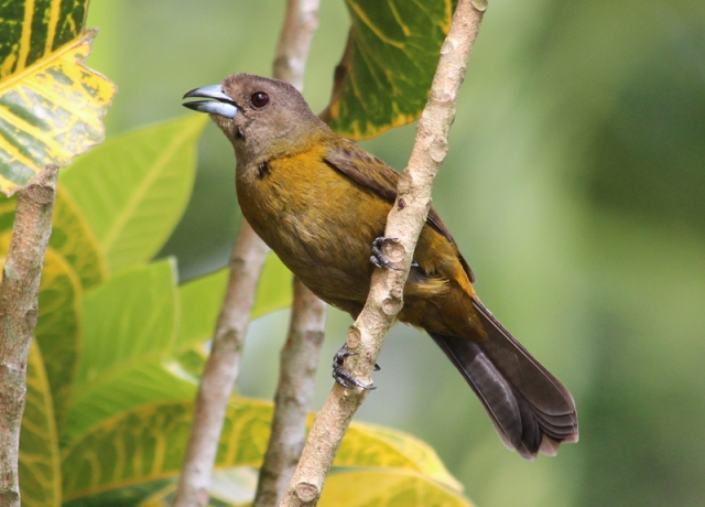 Passerinis_tanager_female